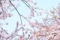 「さくらの杜の桜のはなし」全13話
